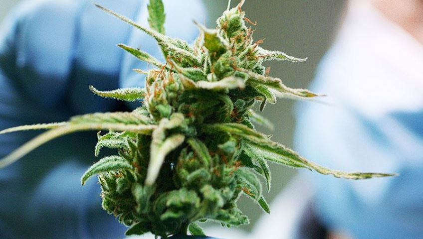 Cannabis raw materials and products